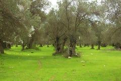 Olivenbäume und grüne Rasen Menschlicher Abfall stockfotografie