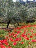 Olivenbäume und Mohnblumen Lizenzfreie Stockfotografie