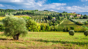Olivenbäume und Weinberge in Toskana Lizenzfreies Stockbild