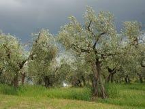 Olivenbäume unter drastischem dunklem Himmel Stockbild