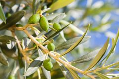 Olivenbaum Stockbilder