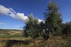 Olivenbaum Lizenzfreies Stockbild