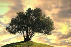 Olivenbaum. Lizenzfreies Stockbild