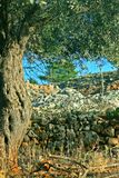 Olivenbaum. Stockbild