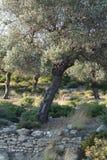 Olivenbaum Stockfoto