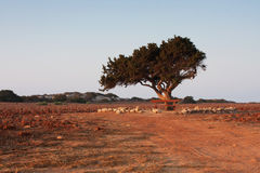 Olivenbaum auf dem Gebiet Lizenzfreies Stockfoto