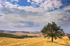 Olivenbaum auf dem Gebiet Stockfoto