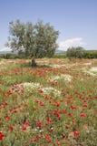 Olivenbaum auf dem Mohnblumegebiet lizenzfreie stockfotografie