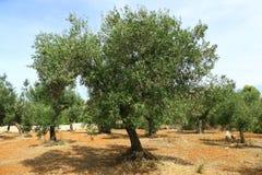 Olivenbaum auf rotem Boden Lizenzfreies Stockfoto