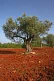 Olivenbaum auf rotem Boden lizenzfreies stockbild