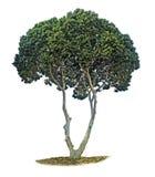 Olivenbaum auf Weiß stockbilder