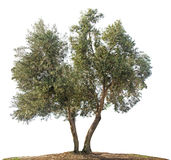 Olivenbaum auf Weiß stockfotografie