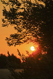 Olivenbaum bei Sonnenuntergang in Kroatien Stockfotografie