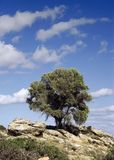 Olivenbaum in den griechischen Inseln lizenzfreie stockfotos