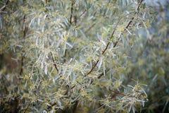 Olivenbaum der Niederlassung Stockfoto