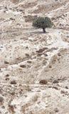 Olivenbaum in der Wüste Lizenzfreie Stockfotografie