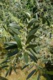 Olivenbaum des Blatt-Hintergrund-Beschaffenheits-Musters stockbild