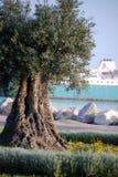 Olivenbaum durch das Meer Lizenzfreies Stockfoto