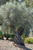 Olivenbaum in Griechenland Stockfotografie