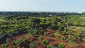 Olivenbaum im Feldsommer in sonnigem Italien-Brummen 4k stock video