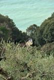Olivenbaum im Garten auf dem Ligurischen Meer lizenzfreie stockfotografie