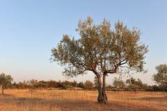Olivenbaum im Licht des frühen Abends Lizenzfreies Stockbild