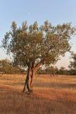Olivenbaum im Licht des frühen Abends Stockbilder