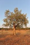 Olivenbaum im Licht des frühen Abends Lizenzfreie Stockfotografie