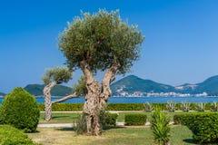 Olivenbaum im Park Adriatoc-Seeufer Lizenzfreie Stockbilder