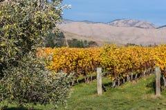 Olivenbaum im Weinberg im Herbst Lizenzfreies Stockbild