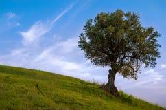 Olivenbaum im Wiesengrün Stockfotografie