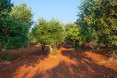 Olivenbaum Italien der Natur Lizenzfreies Stockfoto