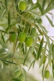 Olivenbaum mit grünen Früchten in Spanien Stockbild