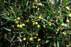 Olivenbaum mit reifen Oliven Stockfotografie