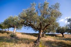 Olivenbaum oben? Lizenzfreies Stockfoto