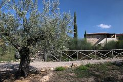 Olivenbaum in Toskana lizenzfreies stockbild