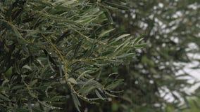 Olivenbaum und auslaufender Regen stock video footage