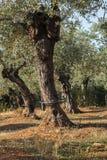 Olivenbaumbewässerung Stockbild