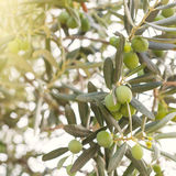 Olivenbaumbrunch Stockfotografie