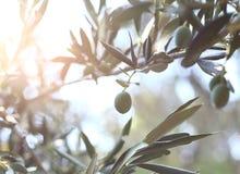 Olivenbaumbrunch Stockbilder