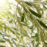 Olivenbaumbrunch Lizenzfreie Stockfotografie