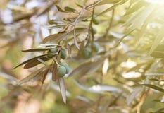 Olivenbaumbrunch Lizenzfreie Stockbilder