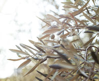 Olivenbaumbrunch Stockbild