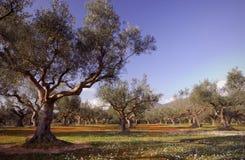 Olivenbaumfeld in Kalamata, Griechenland Stockfotos