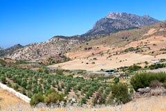 Olivenbaumfelder und -berg in Montecorto, Spanien Stockbild