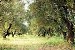 Olivenbaumgarten stockfotos