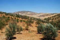 Olivenbaumgruppen, Andalusien, Spanien. Stockfotografie