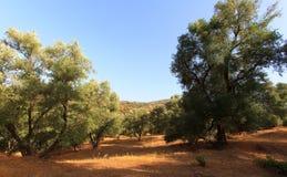 Olivenbaumhügel Plantage der Olivenbäume Stockfotografie