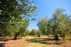 Olivenbaumobstgarten Stockfotos
