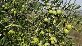 Olivenbaumplantage Organische Oliven wachsen auf Olivenbaum Landwirtschaft und olivgrüne Bearbeitung Produzieren des reinen Extra stock video footage